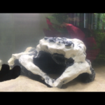 Black Molly in Aquarium…